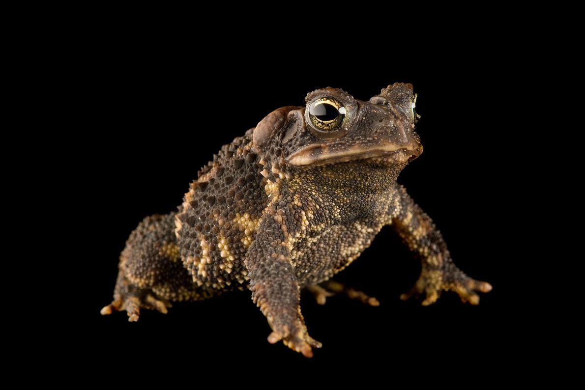 A leopard-bellied scrub toad ('Ollotis signifera') at Atlanta zoo.