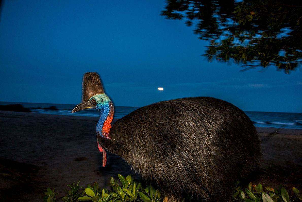 A full moon rises above a female cassowary at Etty Bay, Australia.