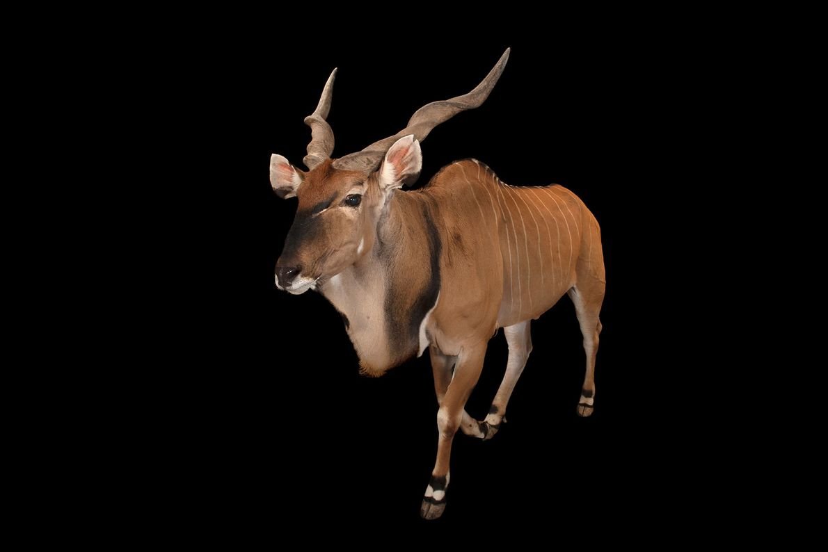 An Eastern giant eland shows off its arresting coloration and tightly spiralled horns. The 'giant' in ...