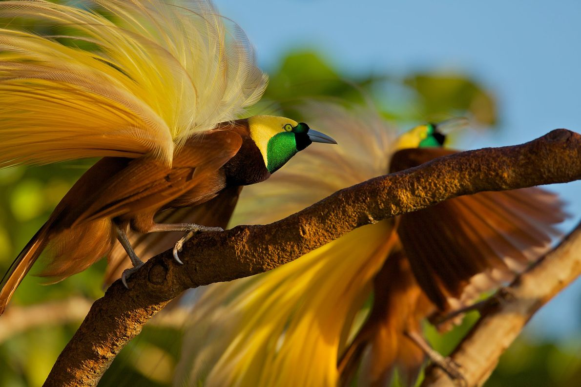 Greater bird of paradise, Badigaki Forest, Wokam Island in the Aru Islands, Indonesia.