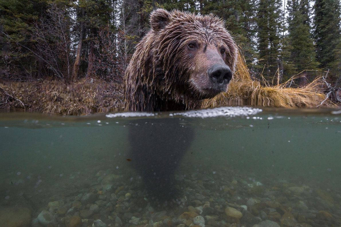 A grizzly bear fishes for salmon in the Fishing Branch River in Yukon Territory, Canada.