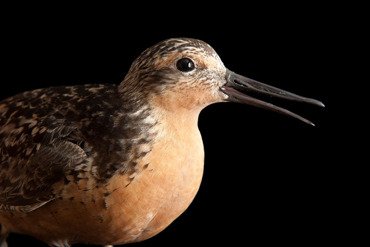 Red knot, Calidris canutus, a candidate species for listing due to a rapid decline in population.