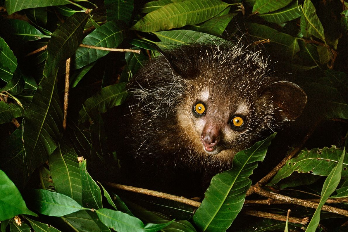 An aye-aye sits in its nest in Madagascar.