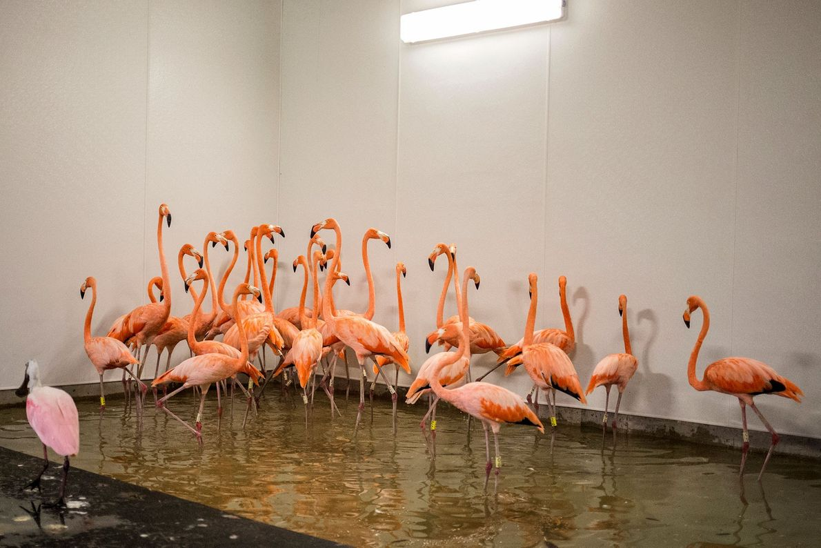 Flamingos take refuge in a shelter in a zoo in Miami before the storm hit on ...