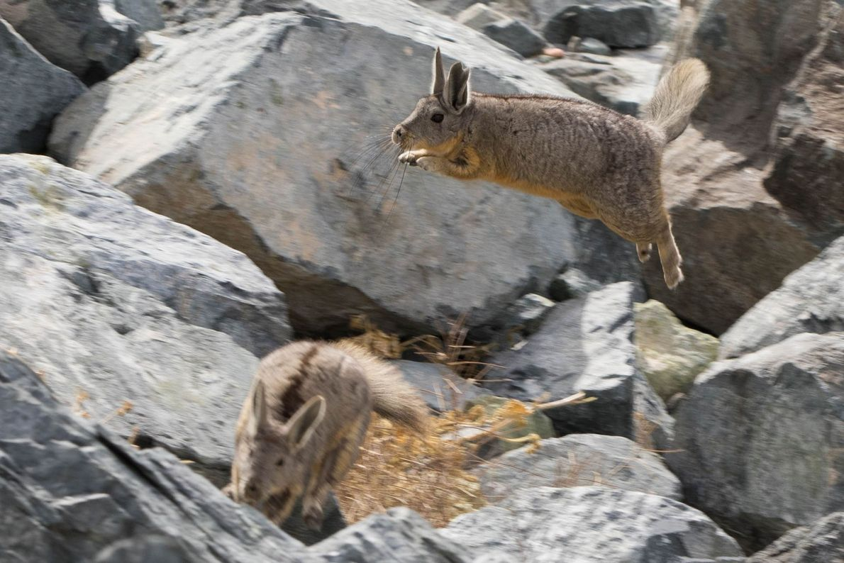 Two viscachas, relatives of the chinchillas, leap and chase each other around in the Atacama Desert, ...