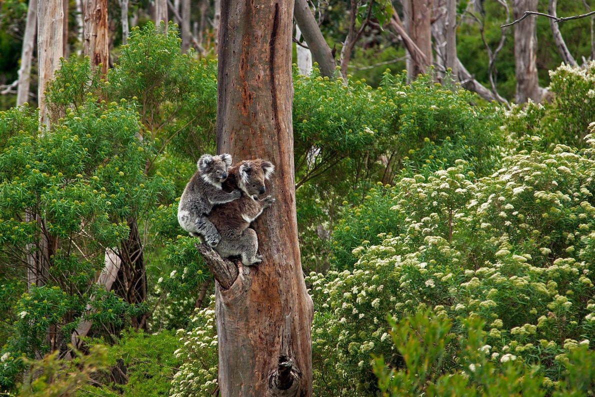 A koala in Newfield, Victoria, Australia.