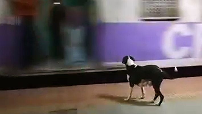 Every Night, This Dog Waits in Vain for the Same Train Car