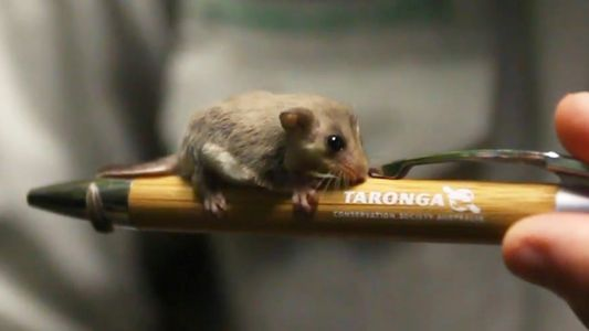 Twenty Tiny Pygmy Gliders Born at Australia Zoo