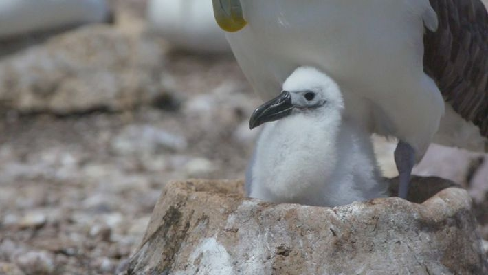 See the Artificial Nests Helping the Shy Albatross Battle Climate Change