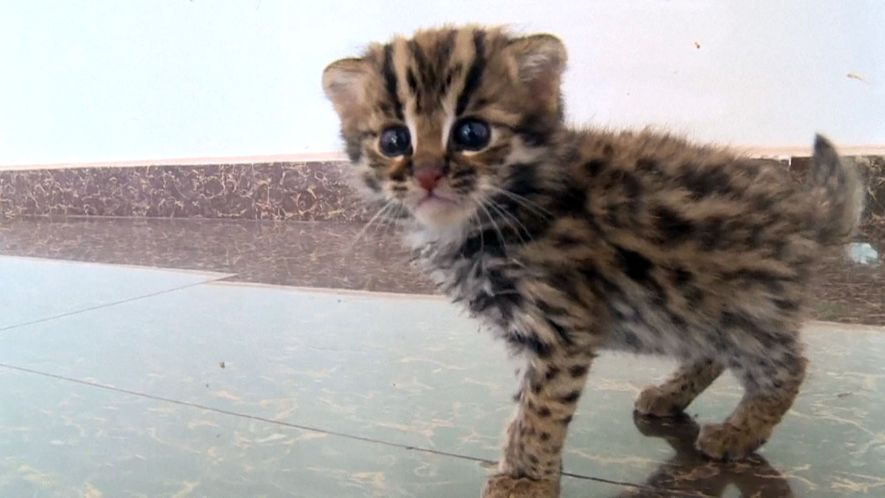 This Rescued Kitten Isn't Just Any Cat—It's a Wild Leopard Cat