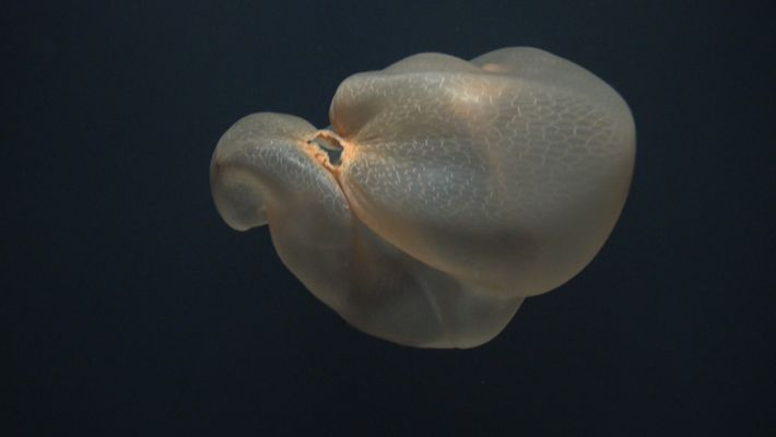 Mysterious Deep-Sea Jellyfish Filmed in Rare Sighting