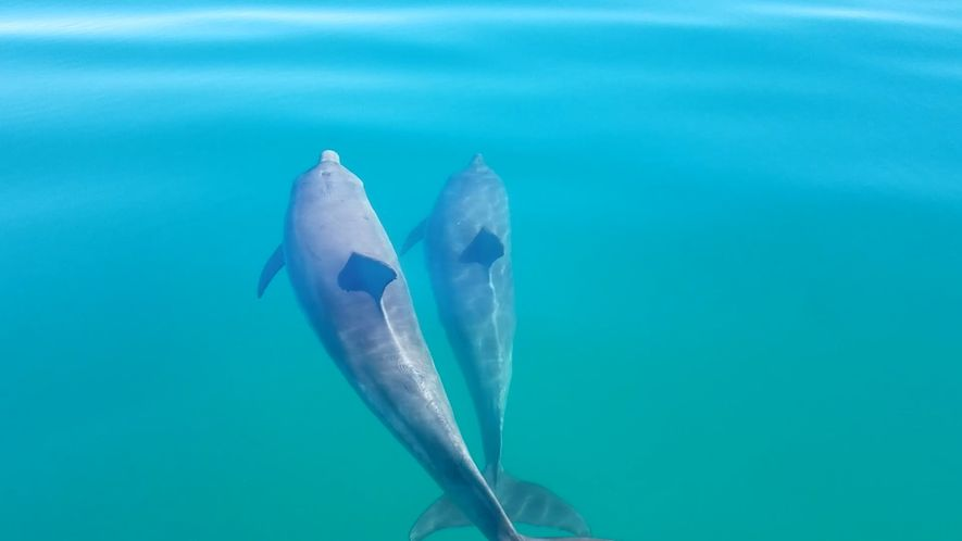 Watch Male Bottlenose Dolphin Friends 'Hold Hands'
