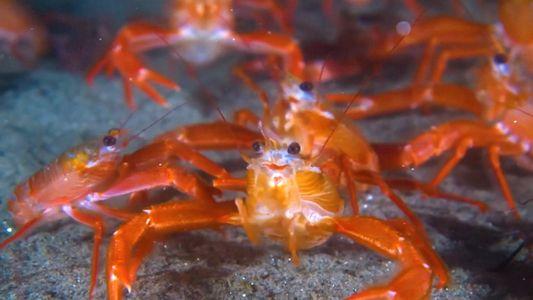 Tiny 'Tuna Crabs' Swarm California Beaches Beyond 'Normal' Range