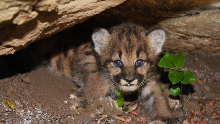 Watch Four Mountain Lion Cubs Snooze In Their Den