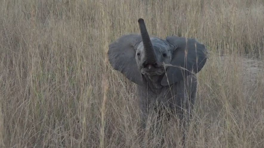 Elephant Calf Acts Tough On Camera