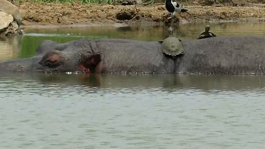 Sneaky Turtles Sunbathe on a Hippo's Back