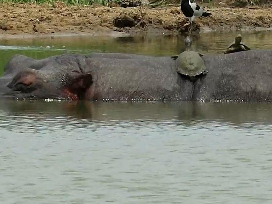 Sneaky Turtles Sunbathe on a Hippo's Back