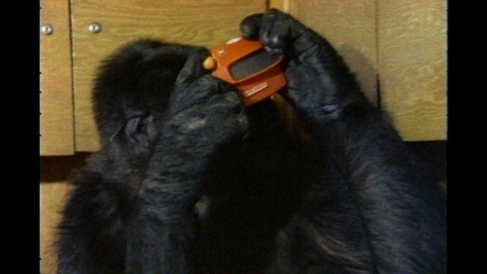 Watch Koko the Gorilla Use Sign Language in This 1981 Film