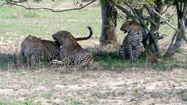 Two Leopard Sisters Mate with Same Male in Rare Video
