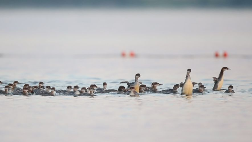 Why This Mama Duck Has Her Ducklings in a Row—All 76 of Them