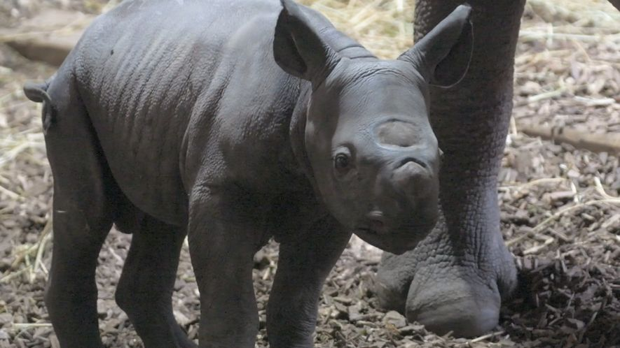 Meet An Endangered Baby Eastern Black Rhino