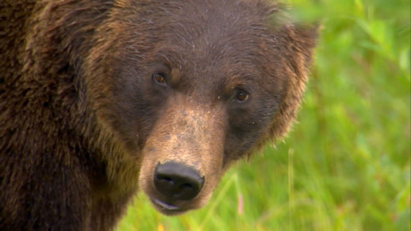Grizzly Bears and Their Insatiable Appetites, Explained