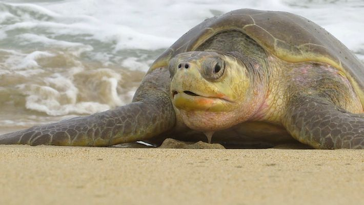 300 Endangered Olive Ridley Sea Turtles Found Dead