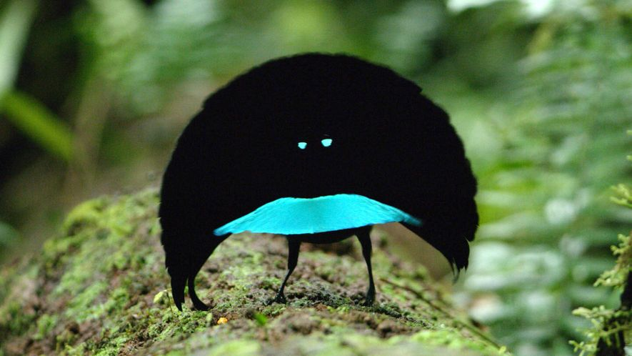 Rare Footage of New Bird of Paradise Species Shows Odd Courtship Dance