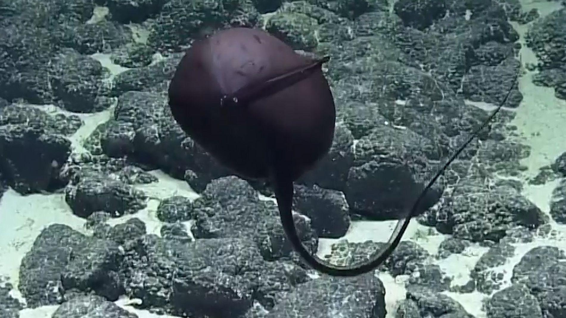 Scientists React to Bizarre Deep-Sea Fish