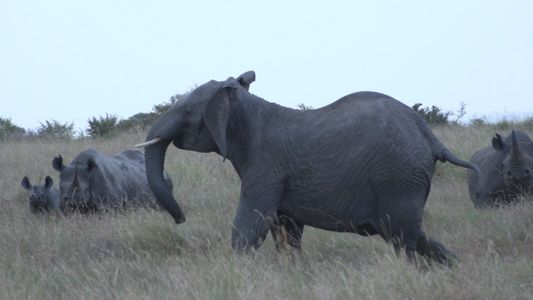 Black Rhinos Confront Lions And Elephants In A Three-Way Stand-off