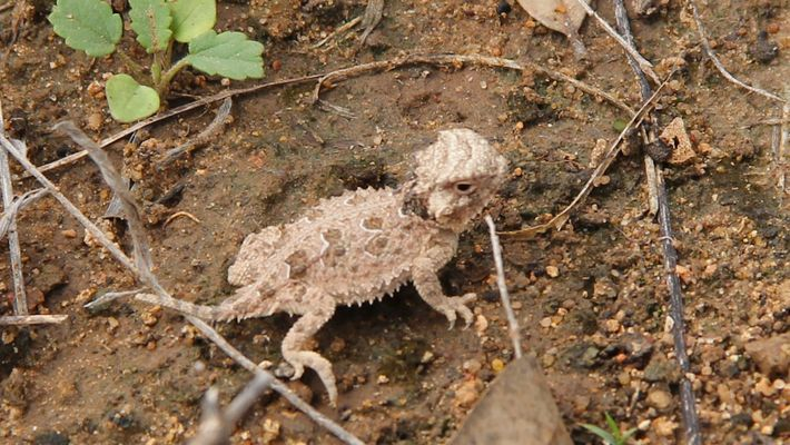 Watch 'Horny Toad' Hatchlings Released to New Home