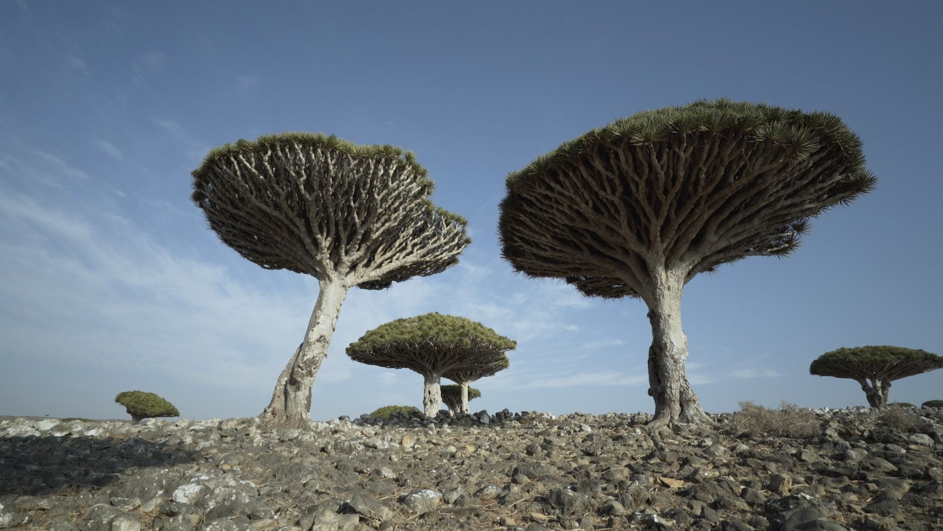 See the unique and endangered dragon's blood trees of Socotra