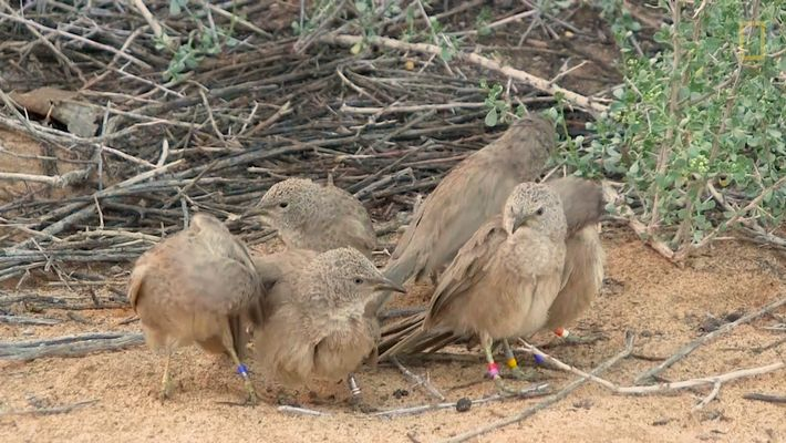 Why these birds hide their sexual trysts