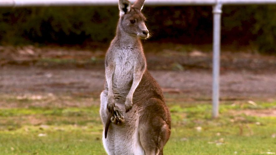 Kangaroos explained: Get to know the world's largest hopping animals