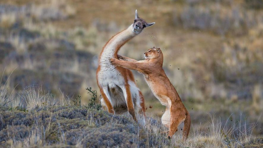 Watch a puma battle a llama-like animal, with a surprise ending