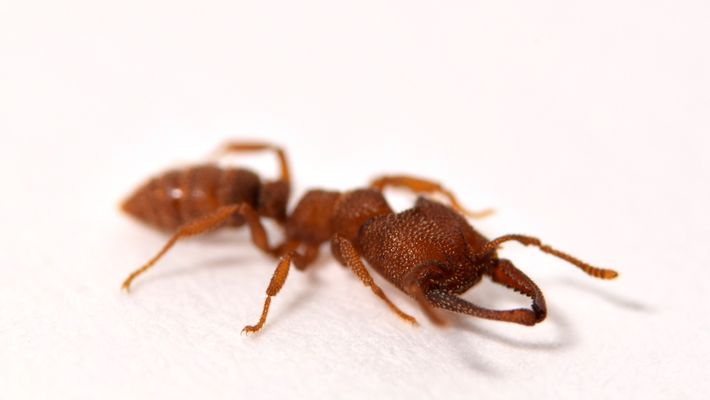 This ant moves faster than any animal on Earth