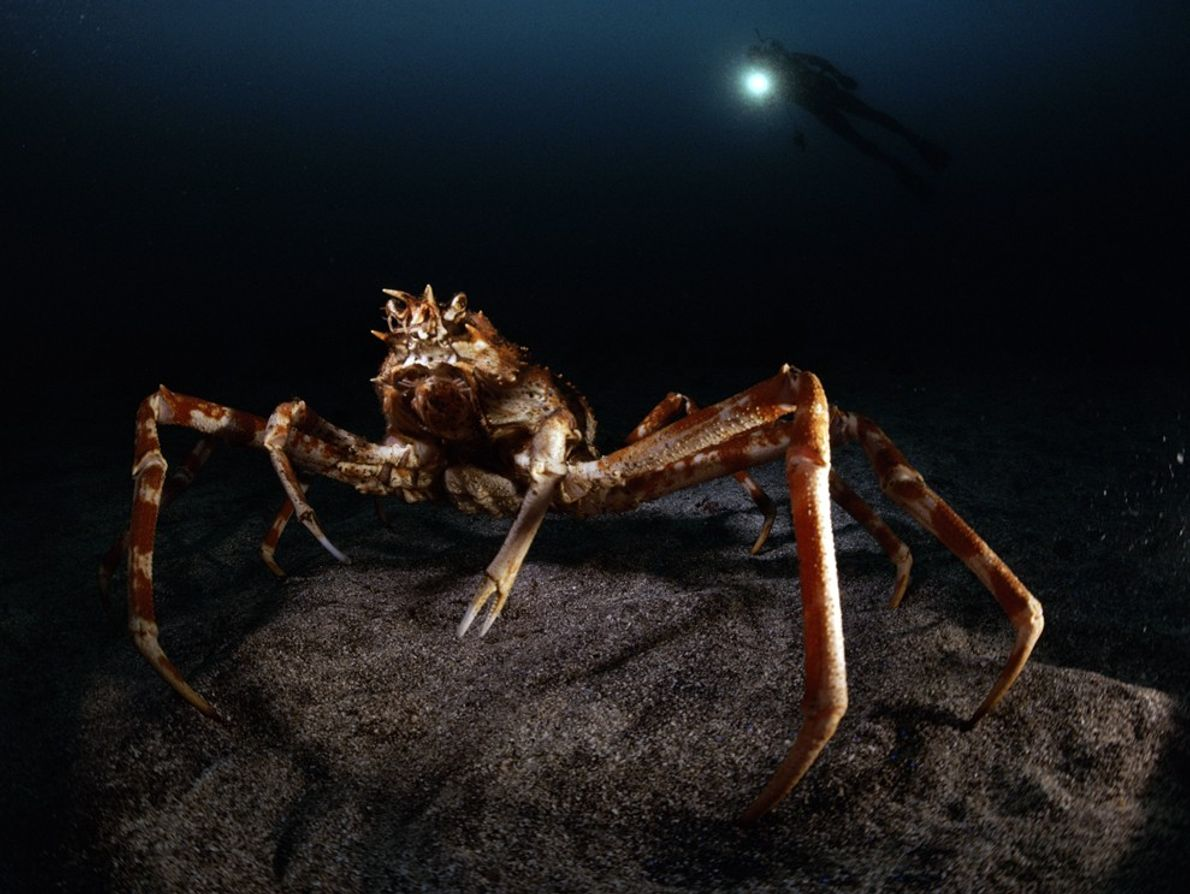 As if bathed in moonlight, a giant spider crab ('Macrocheira kaemferi') is illuminated by a diver's ...