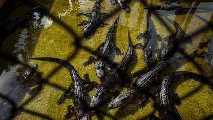 Fake Alligator Farm to Catch Poachers