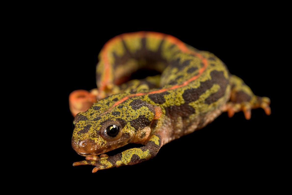 A marbled newt ('Triturus marmoratus') at Conservation Fisheries.