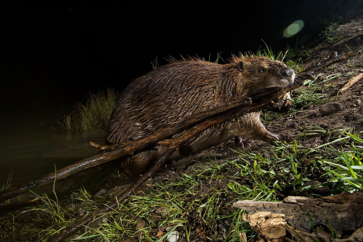 A beaver at Schwabacher Landing in Grand Teton National Park, USA.