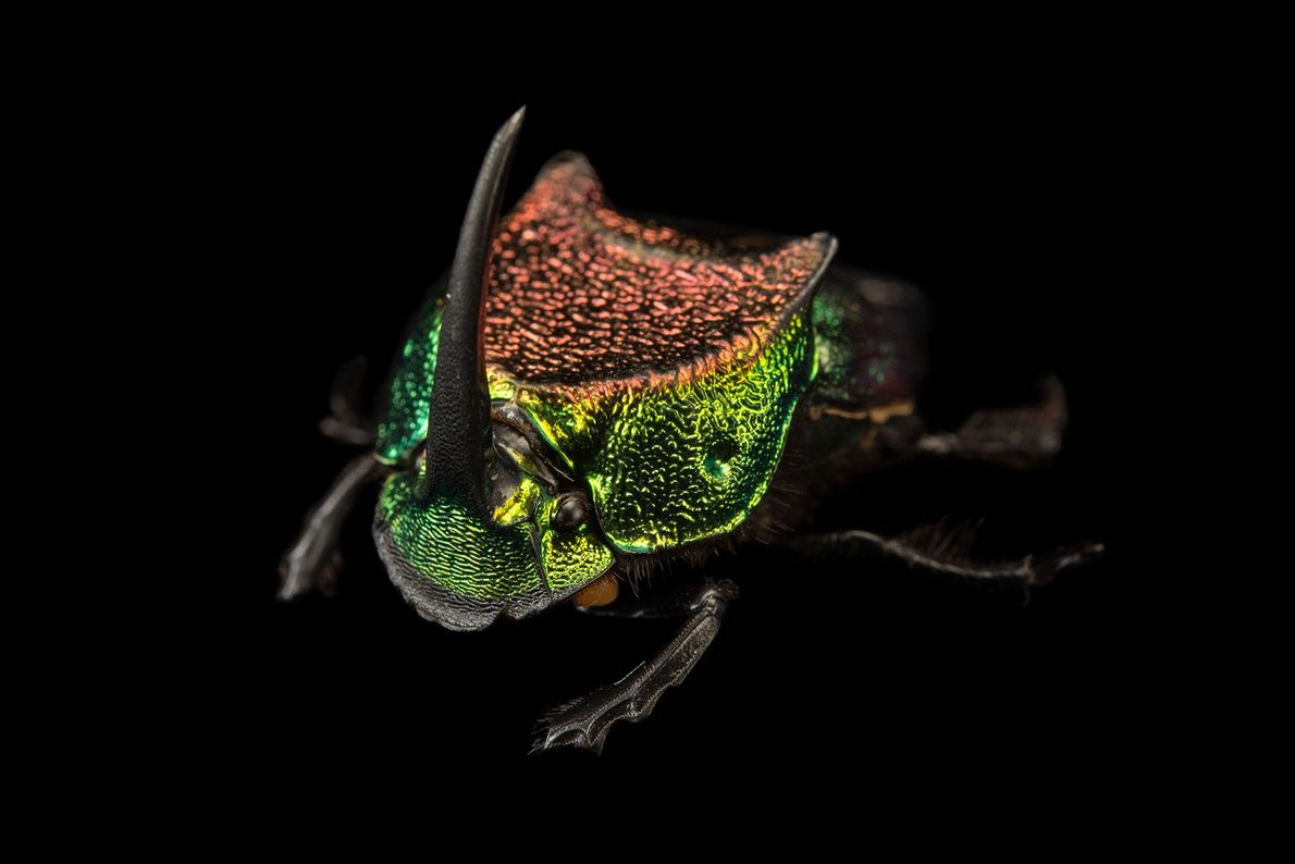 The metallic colour and disproportionately large horns make male rainbow scarabs easy to identify. These horns ...