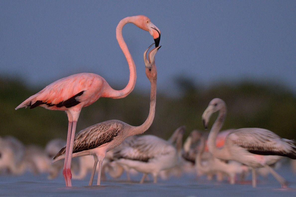 Flamingos, Ria Lagartos Bioshere Reserve, Yucatan, Mexico.