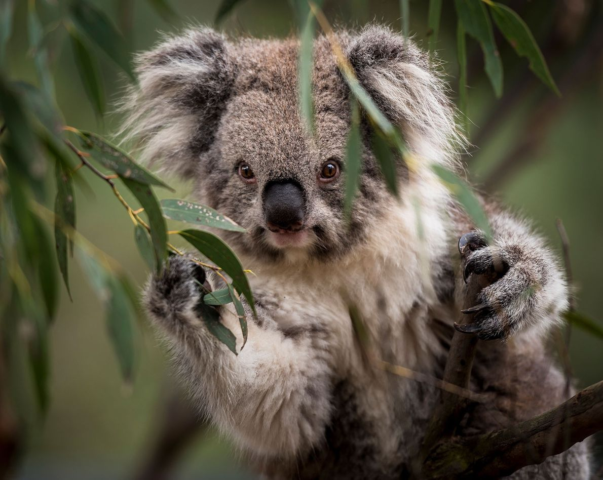 Portrait of a Victorian koala (Phascolarctos cinereus) in Australia.