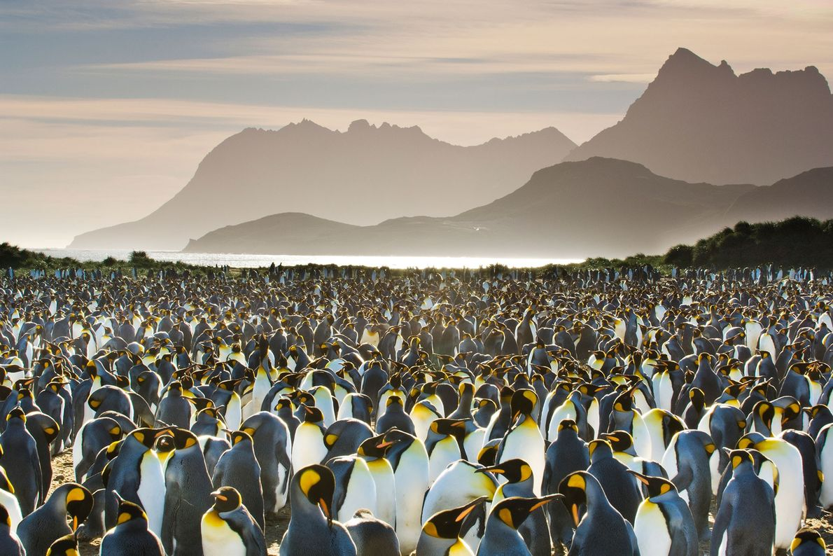 A colony of king penguins crowds together on South Georgia Island.
