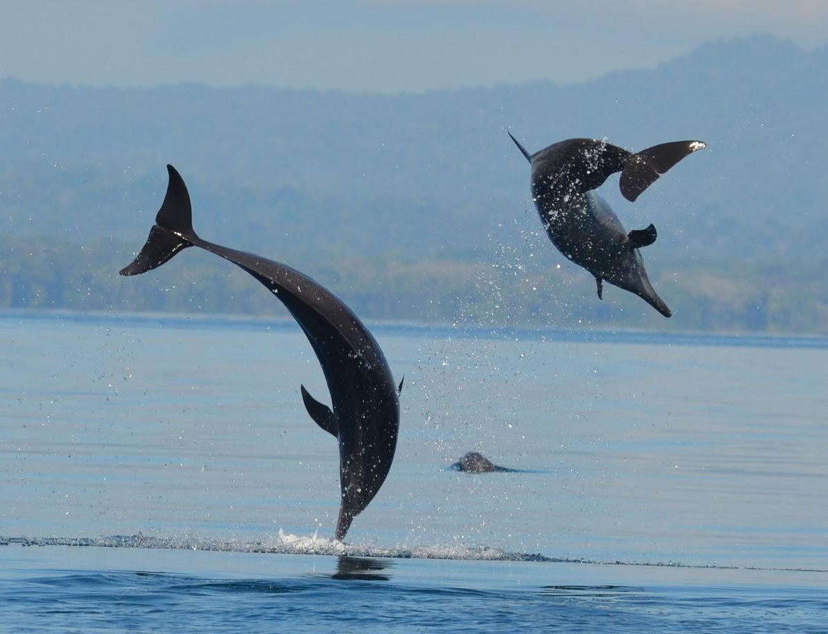 Pantropical spotted dolphins off the coast of the Osa peninsula in Costa Rica. They are very ...
