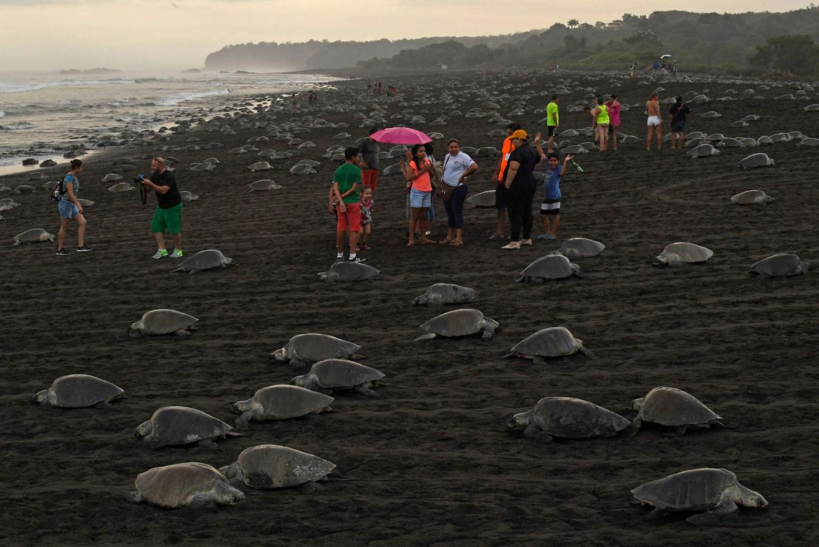 Tourists visit Ostional Beach as turtles emerge to lay eggs. It's legal for residents of the ...