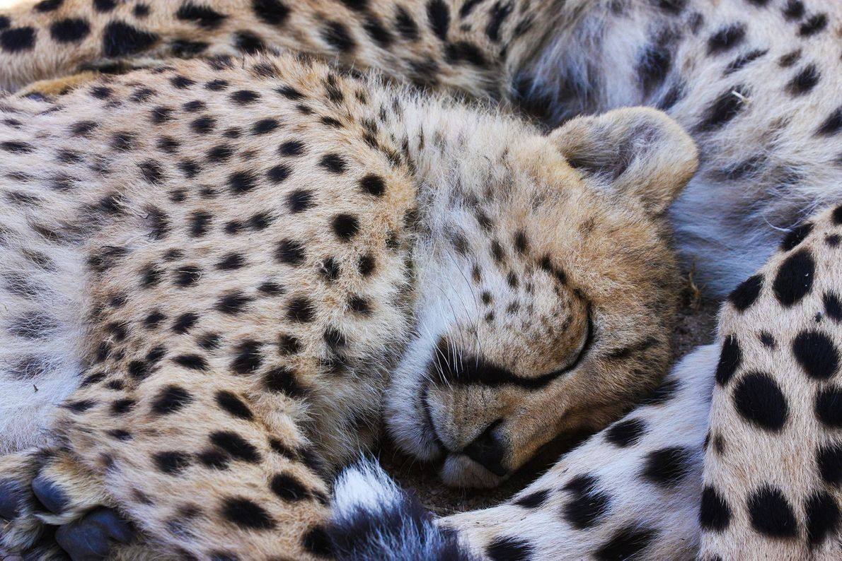 Cheetah cubs have a nap in Cape Town, South Africa.