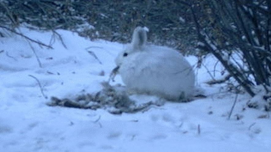 See a meat-eating hare caught in the act