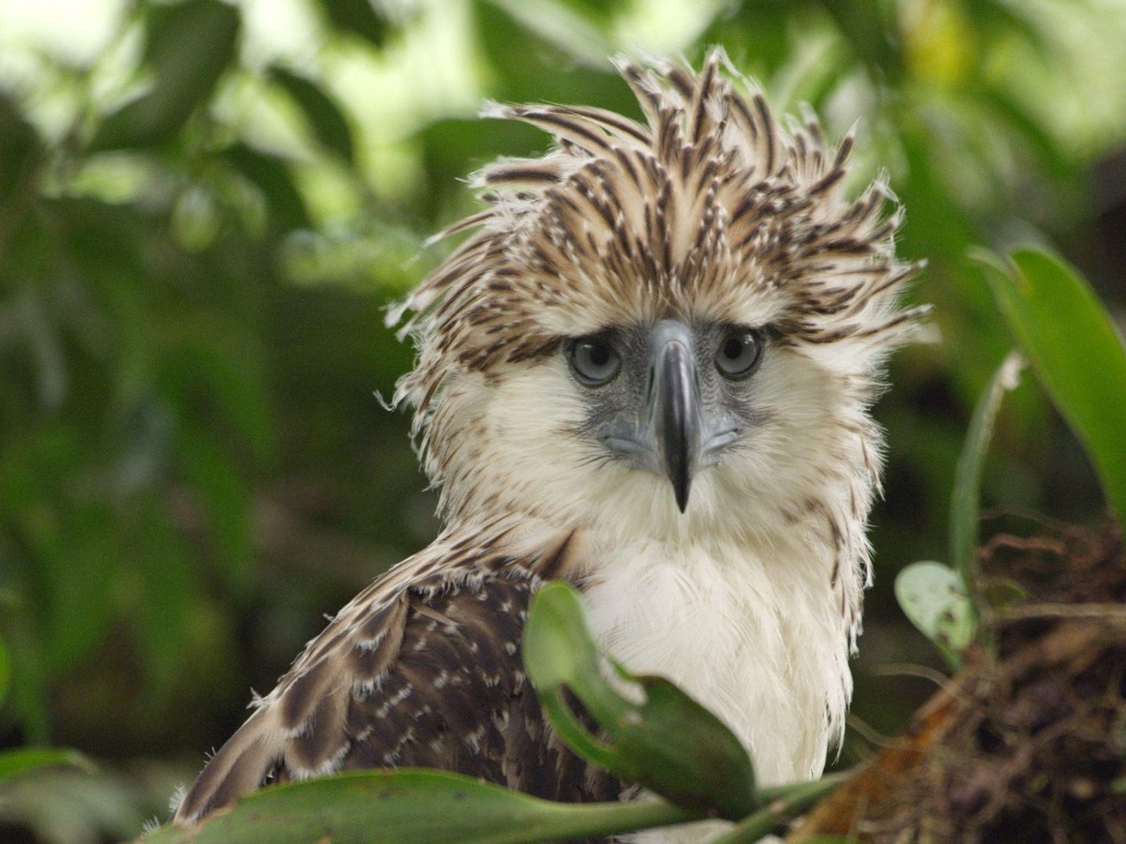 A Philippine Eagle Chick.