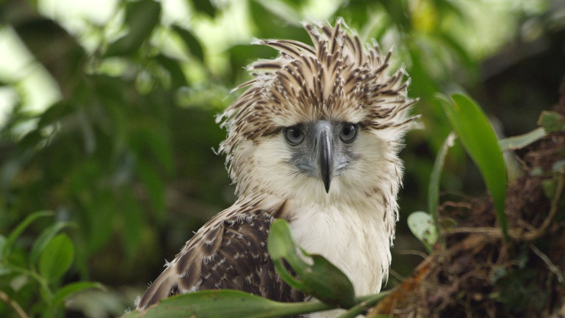 The Story of a Philippine Eagle Chick